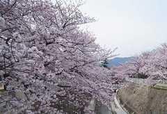 妙法寺川公園の桜1